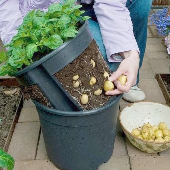 Photo of Como plantar batata no balde e colher até 40 kg – 4 passos simples
