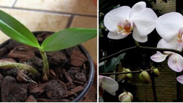 Photo of Aqui estão os segredos para fazer uma orquídea desbotada florescer novamente.