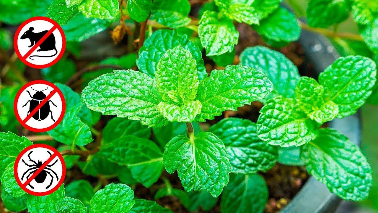 Photo of Esta planta é uma bênção de Deus, afasta ratos, aranhas e outros insetos de sua casa