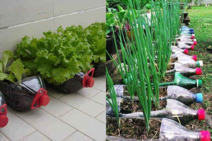 Photo of 12 alimentos que você pode cultivar em casa usando garrafas plásticas