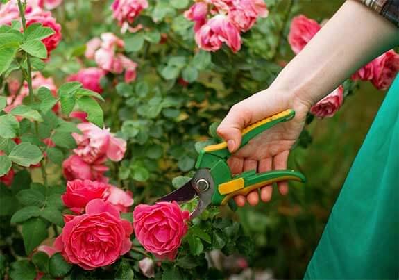 Photo of Saiba como podar rosas em casa: cuidados básicos